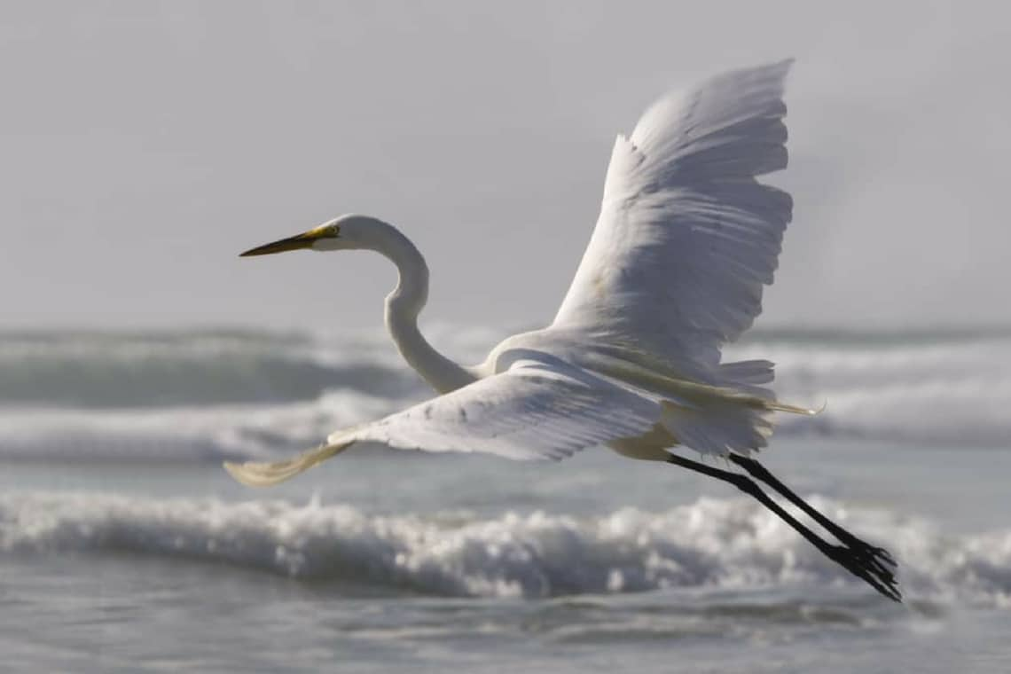 Engage Senses Egret Flying Over Waves